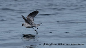 Whales and Grizzly Bears Kayak Tour - Fork-tailed Storm-petrel near Kingfisher's Orca Waters Base Camp