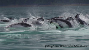 Whales and Grizzly Bears Kayak Tour - Pacific white-sided dolphins seen in Knight Inlet on our way to view grizzly bears.